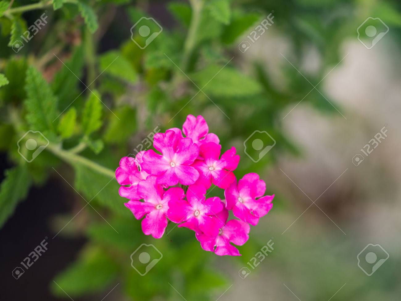 Pink Petunia Flowers Blooming Hanging In The Flower Pot Stock Photo