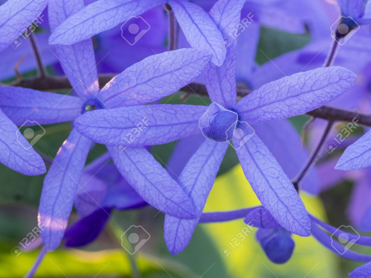 Purple Ivy Flower Blooming In The Garden Stock Photo Picture And