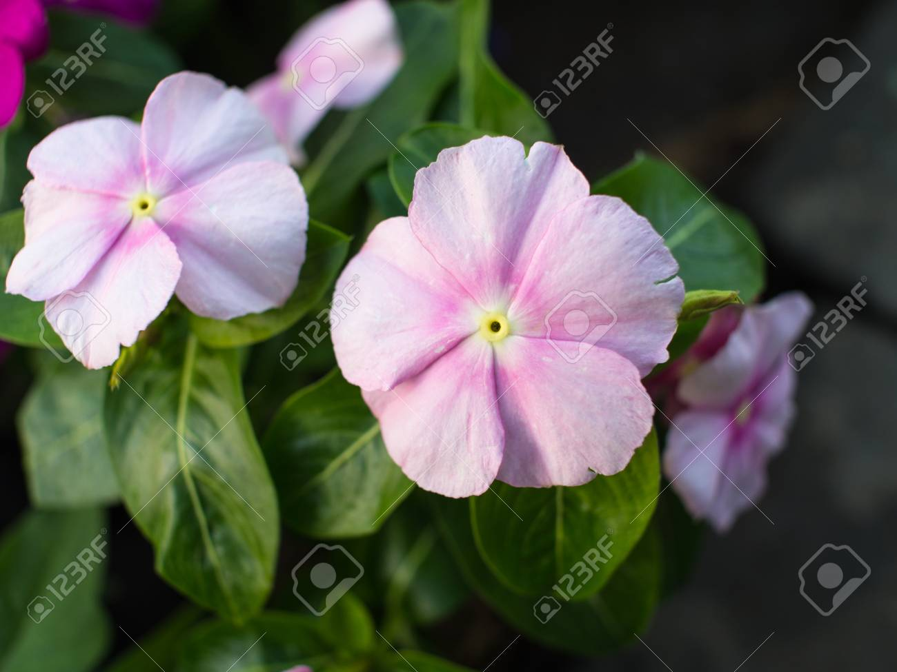 Pink White Vinca Flower Hanging In The Garden Stock Photo Picture