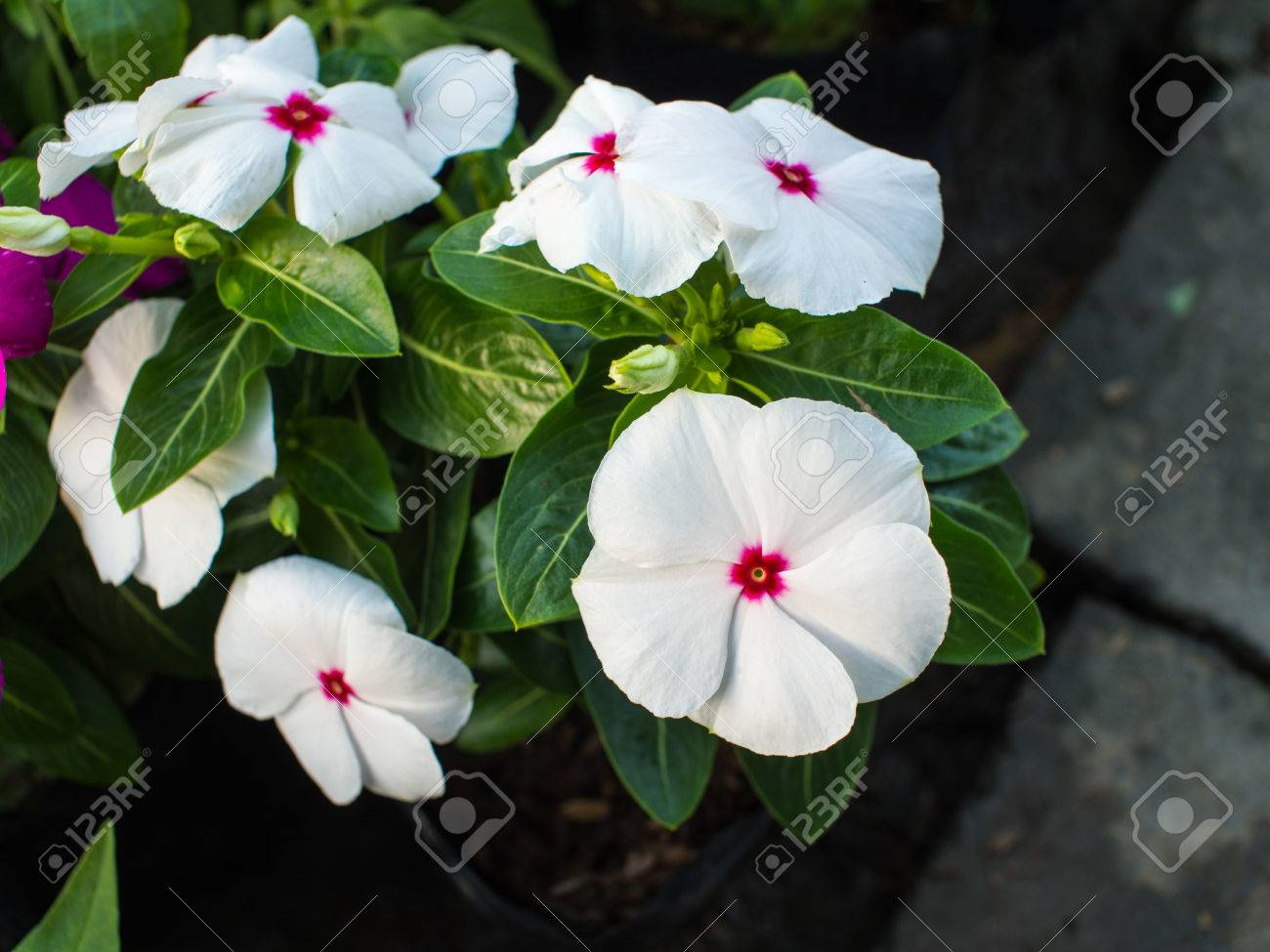 White Vinca Flower Hanging In The Garden Stock Photo Picture And