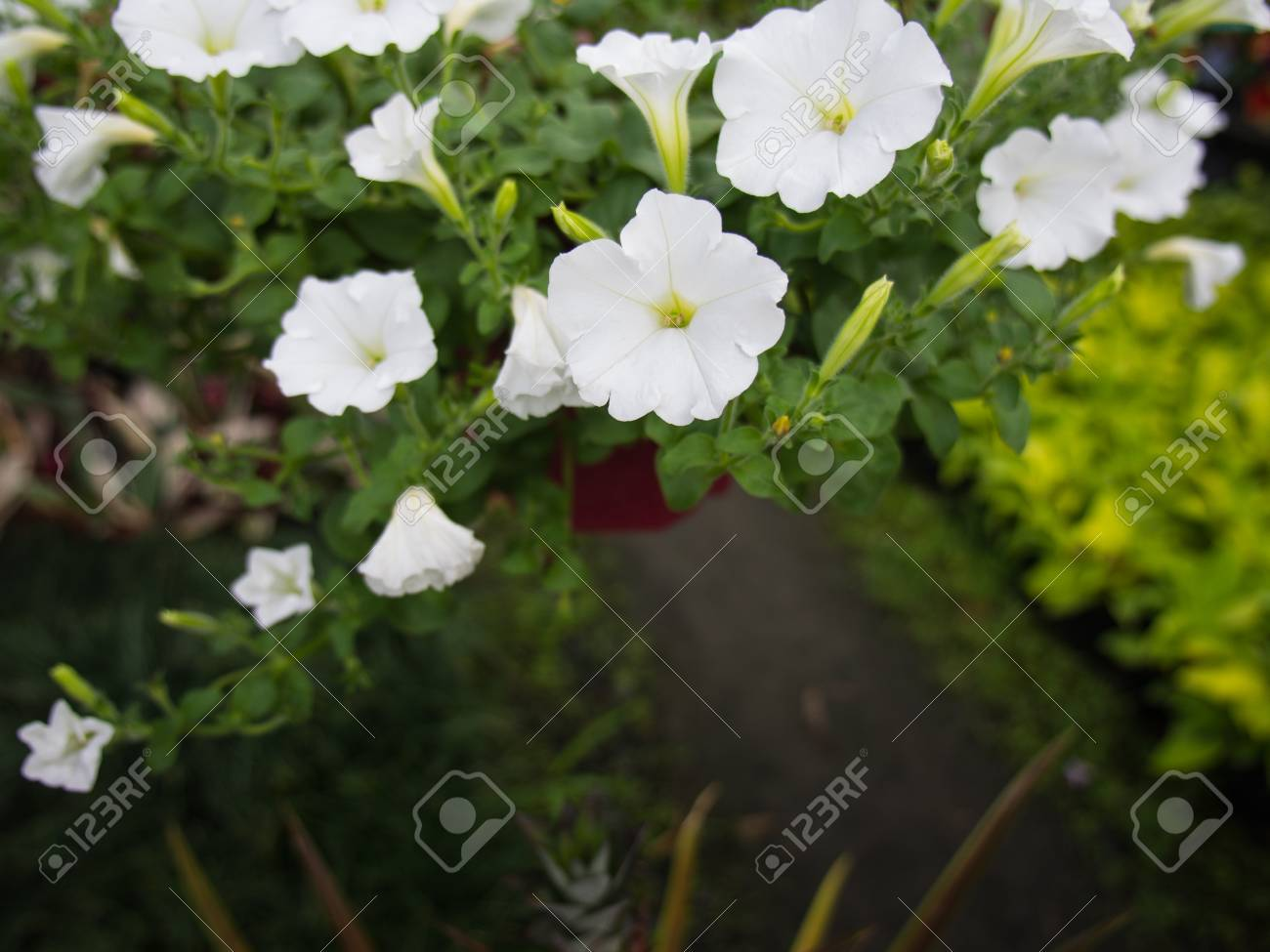 White Petunia Flowers Hanging In The Garden Stock Photo Picture And