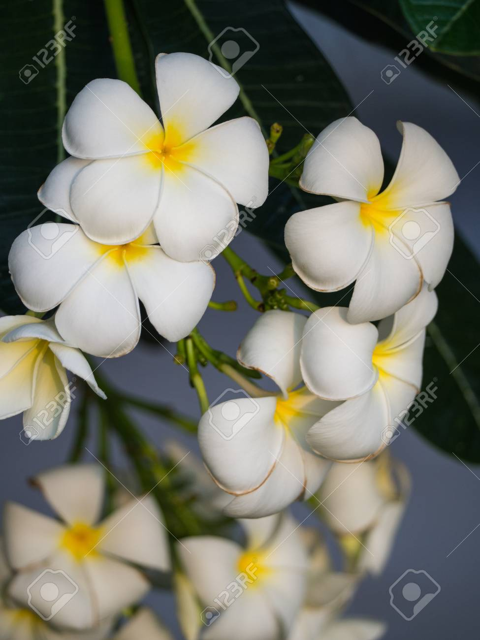 White yellow plumeria flowers hanging on the tree stock photo stock photo white yellow plumeria flowers hanging on the tree mightylinksfo