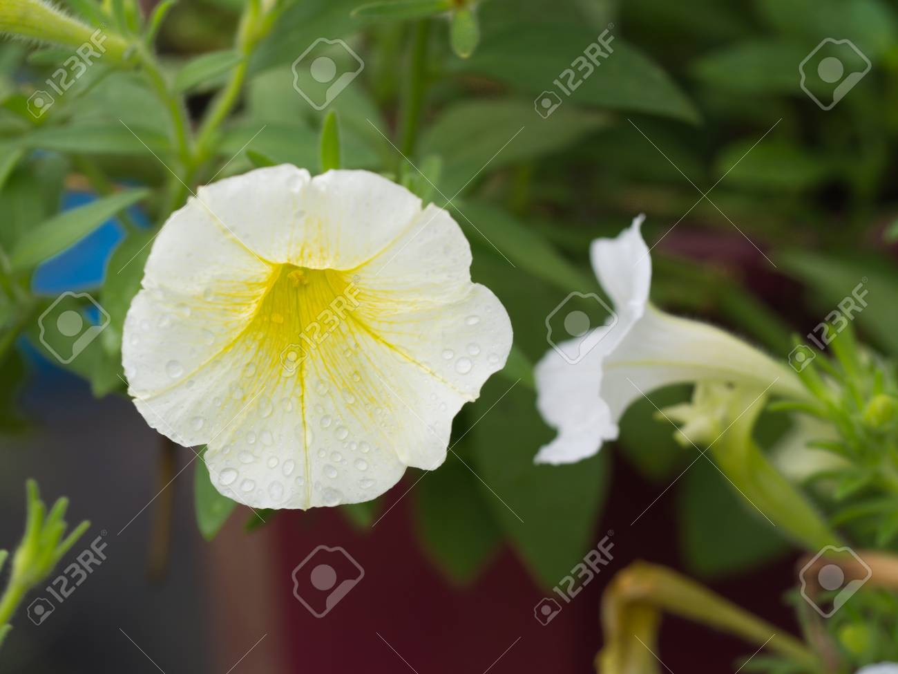Rain Drops On The White Yellow Petunia Flower Hanging In The Stock