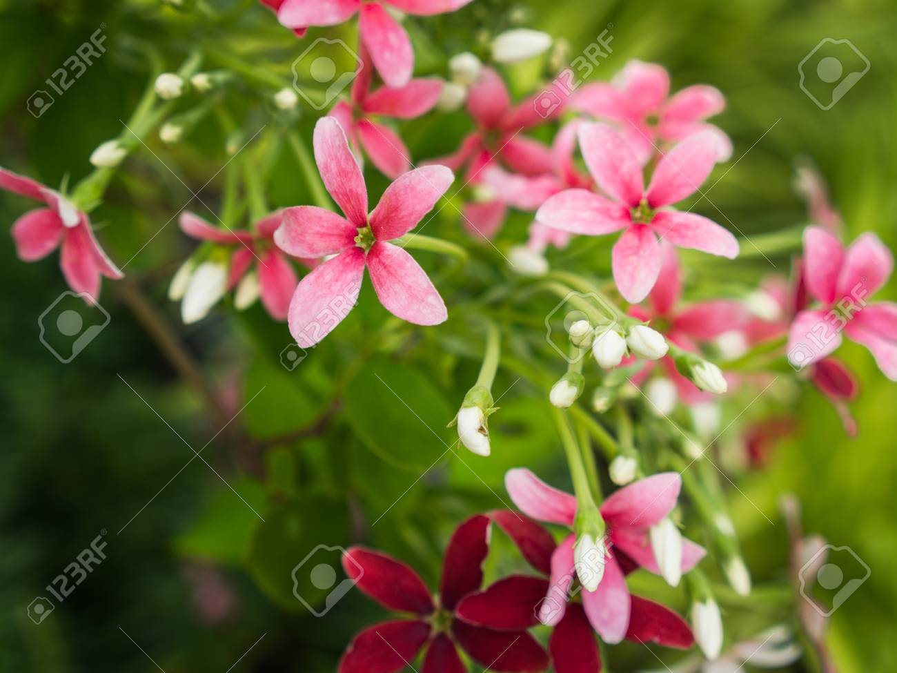 Pink white red rangoon creeper flowers blooming in the garden stock pink white red rangoon creeper flowers blooming in the garden stock photo 92117917 mightylinksfo