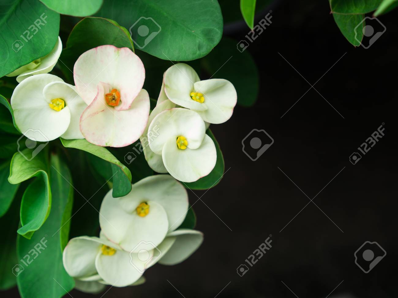 The White Euphorbia Milii Flowers Blooming In The Garden Stock Photo