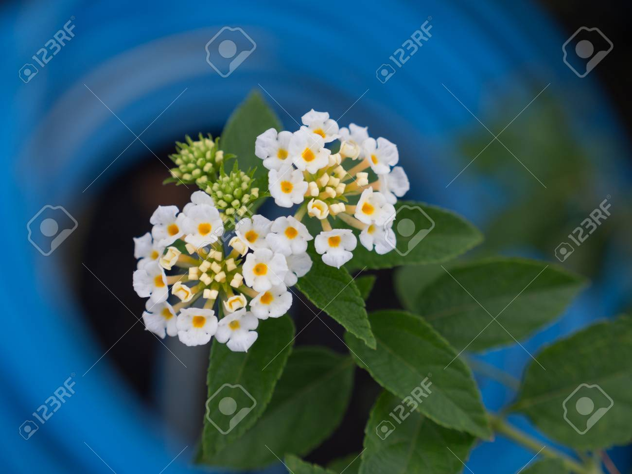 The White Hedge Flowers Blooming , In Behind The Blue Circle Stock ...