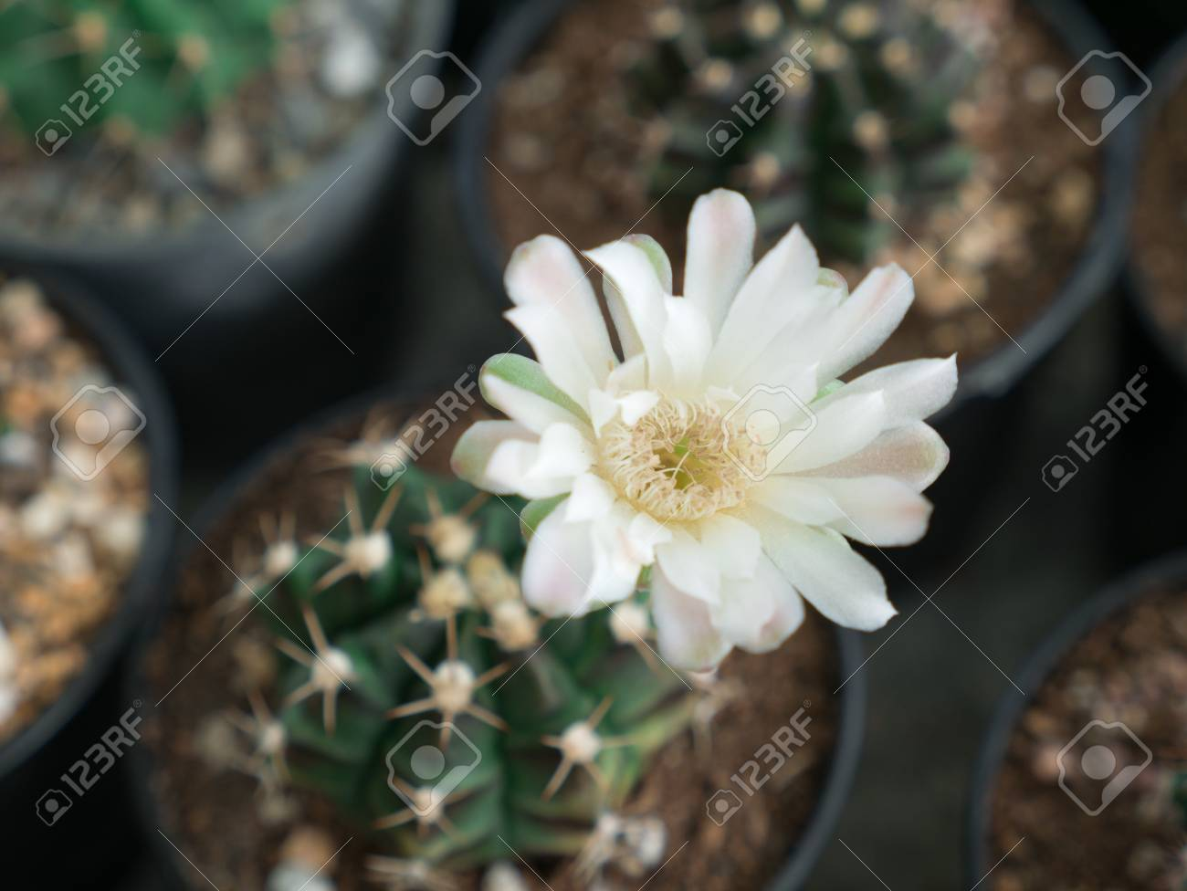 The White Cactus Flower In The Pot Stock Photo Picture And Royalty