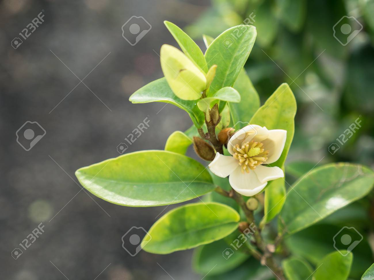 The White Yellow Port Wine Magnolia Flower Blooming In The Garden