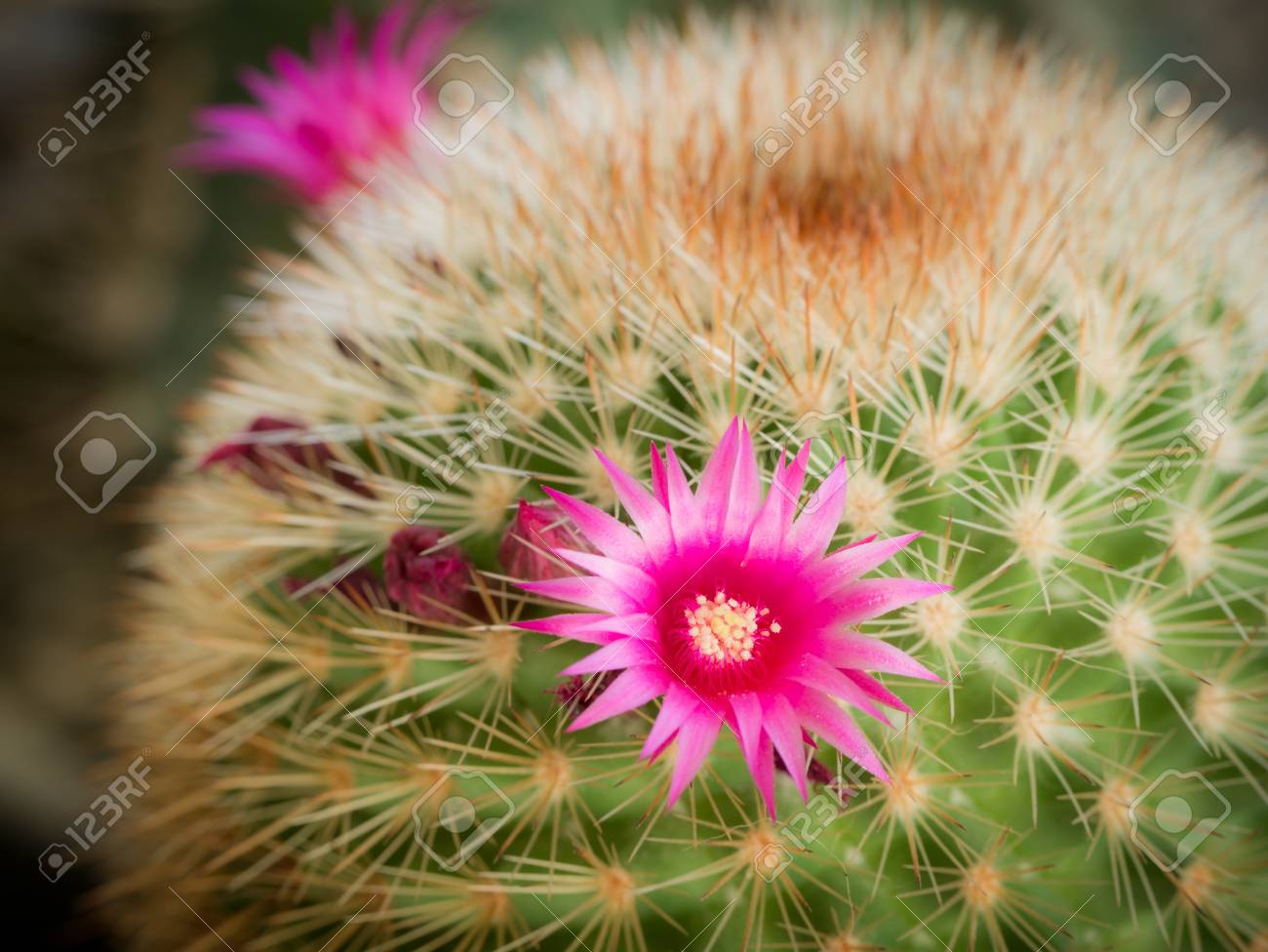 The Pink Cactus Flower Blooming In The Garden Stock Photo Picture