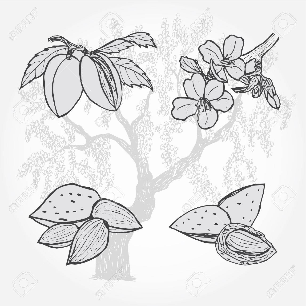 Almond Tree And Nuts Vector Sketch Illustration Royalty Free Cliparts Vectors And Stock Illustration Image 59705058