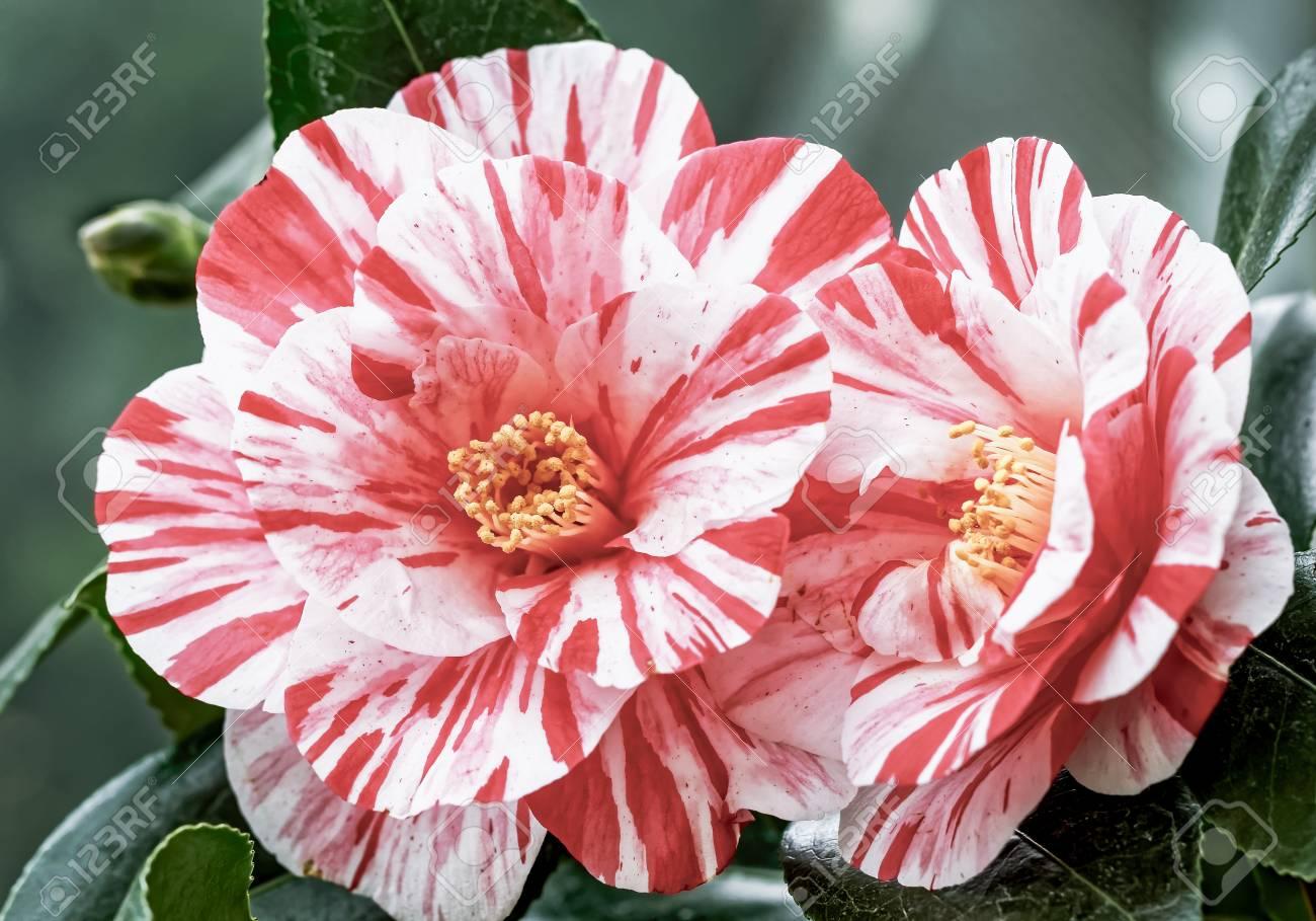Red White Camellia Camellia Japonica L Ezo Nishiki Stock
