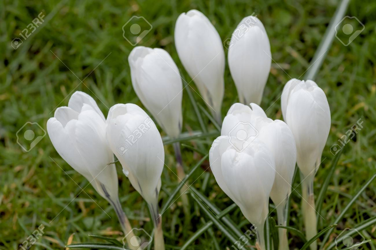 White Crocus Flowers In A Spring Meadow Stock Photo Picture And