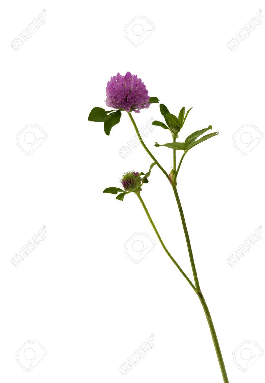 Trefle Rouge Trifolium Pretendre Fleur De Trefle Rouge Isole Sur