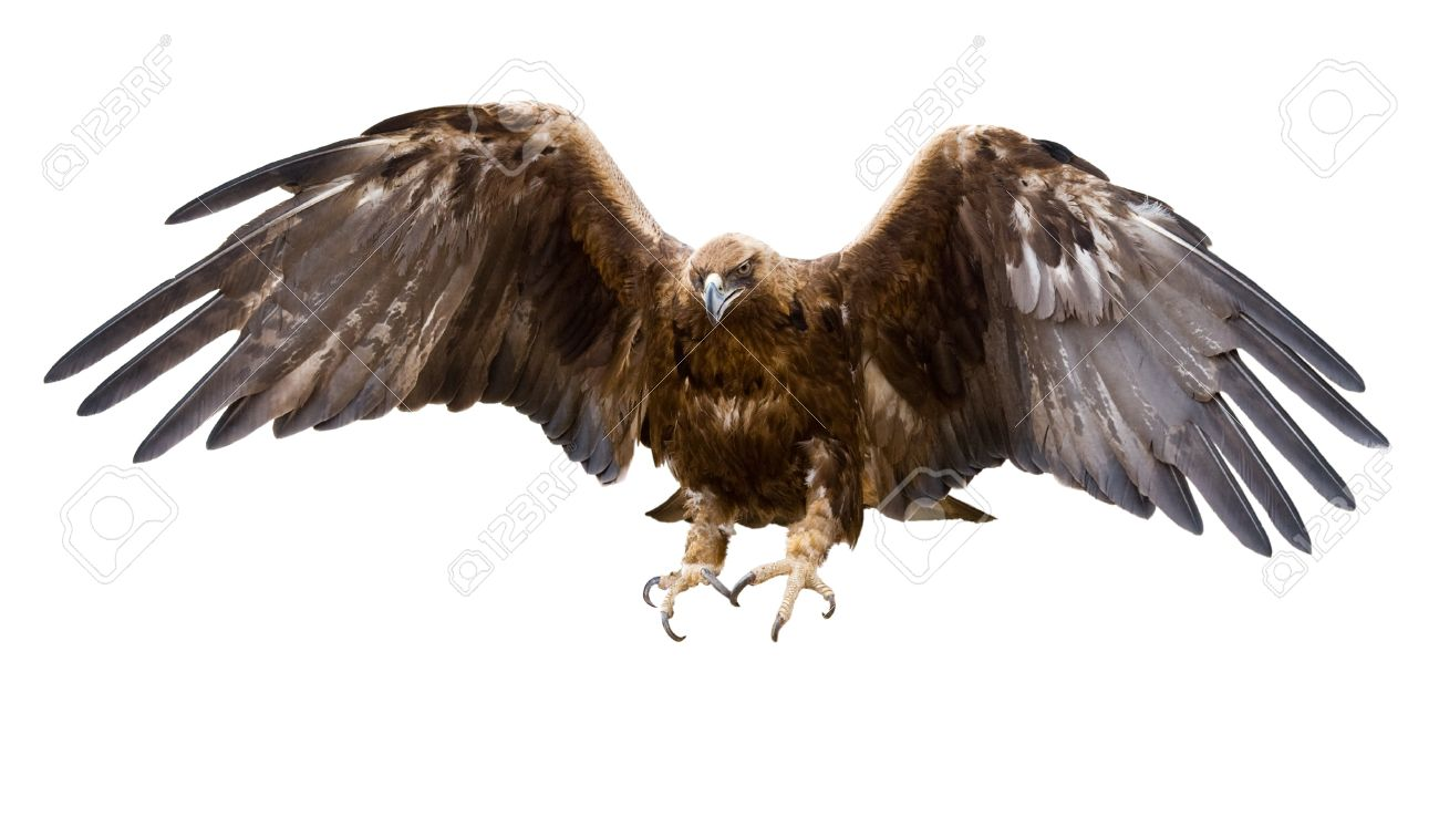 a golden eagle with spread wings, isolated - 8355478