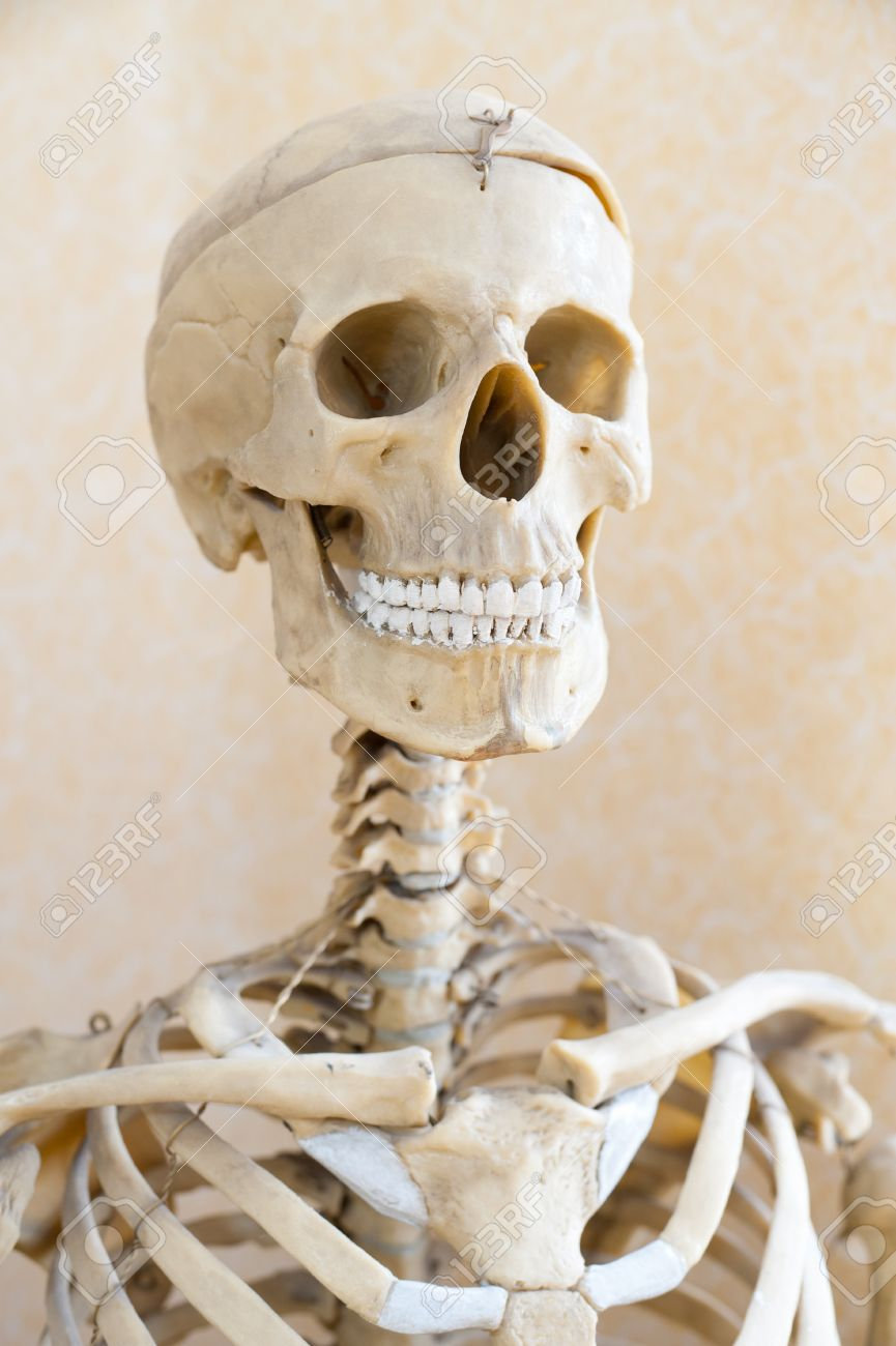 a fake human skeleton, a head shot stock photo, picture and, Skeleton