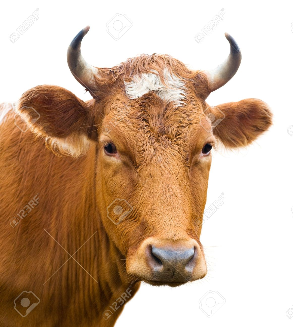 brown cow images u0026 stock pictures royalty free brown cow photos