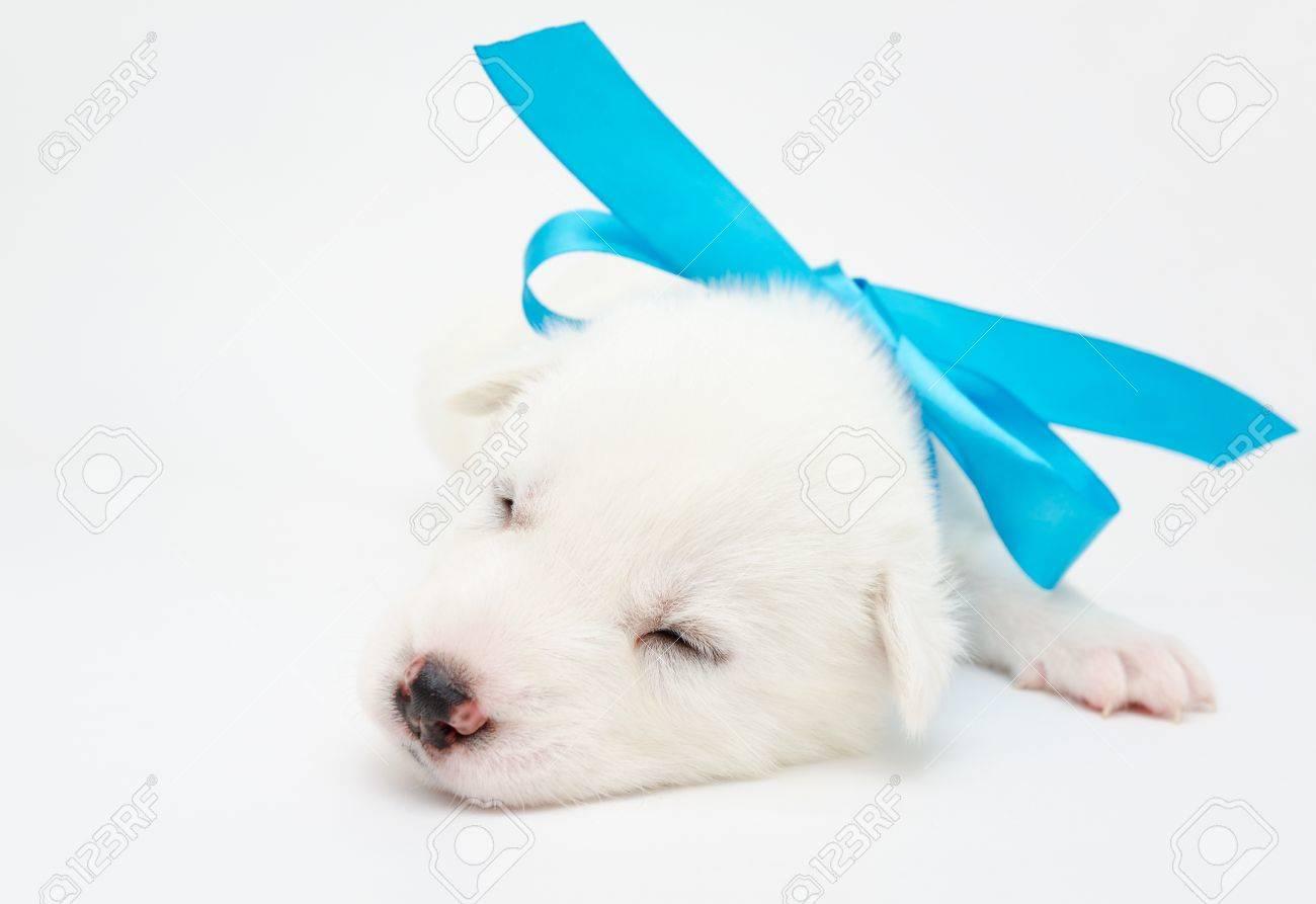 small sleeping white husky puppy with blue ribbon Stock Photo - 19221082