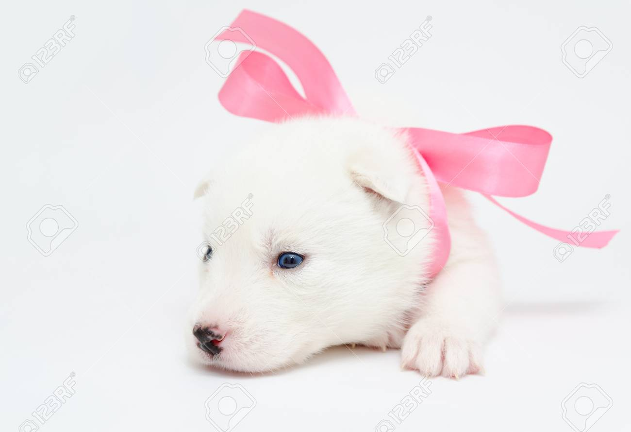 a small white husky puppy with a pink ribbon Stock Photo - 19382842