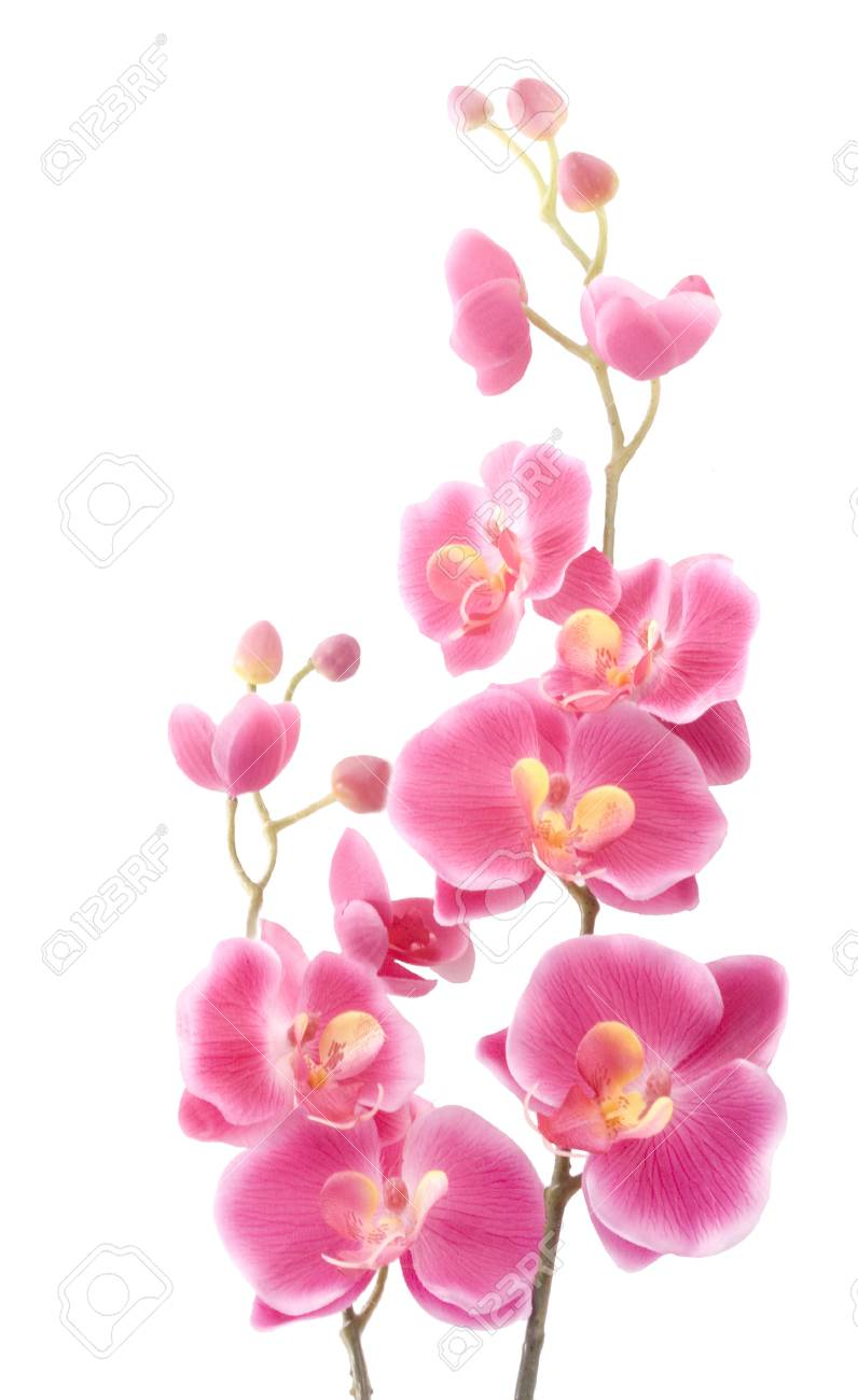 Pink orchid on a white background Stock Photo - 9668940