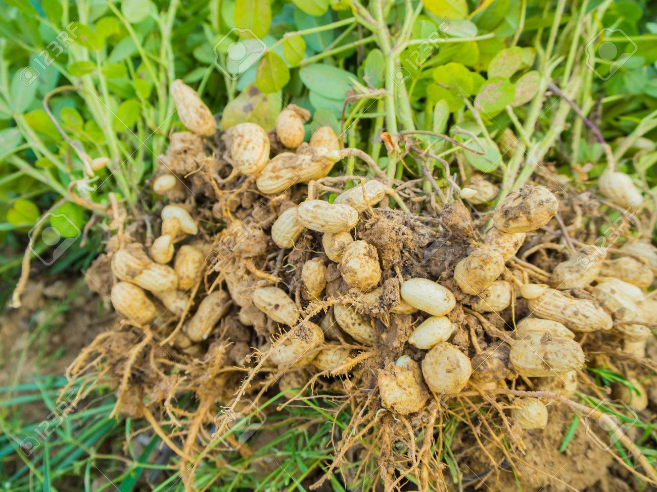 arachides fraîches plantes à racines, d'arachide banque d'images et