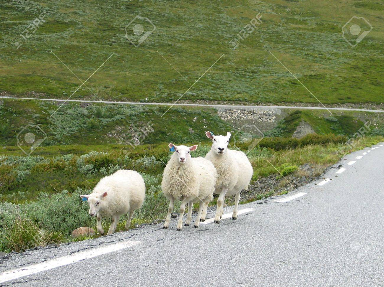 three sheeps on the roadside Stock Photo - 354052