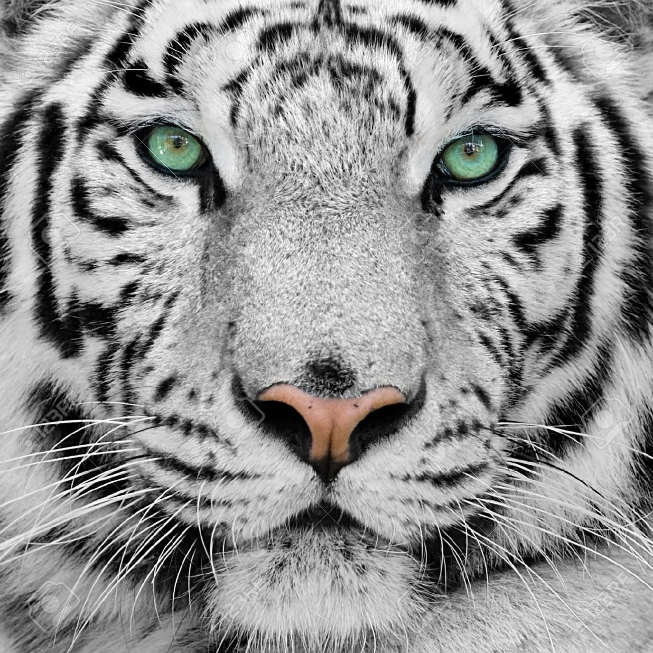 big white tiger close-up portrait