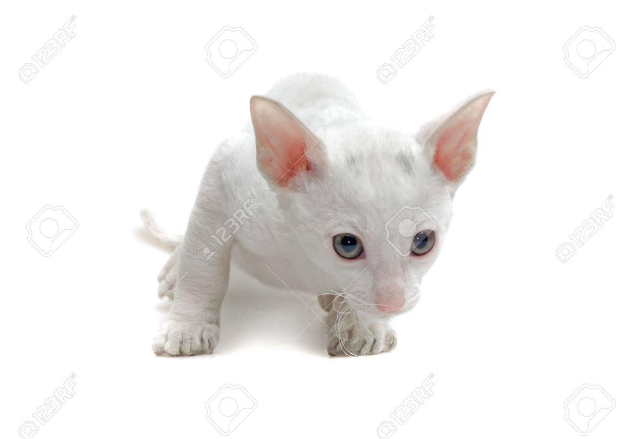 white cornish rex kitten isolated on white Stock Photo - 5498764