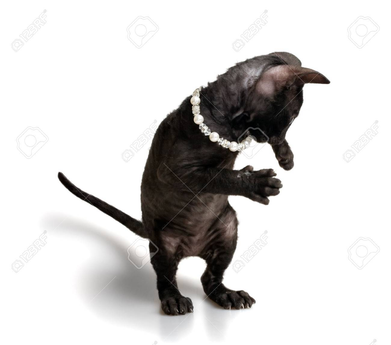 black cornish rex kitten in playing pose isolated on white Stock Photo - 5498852