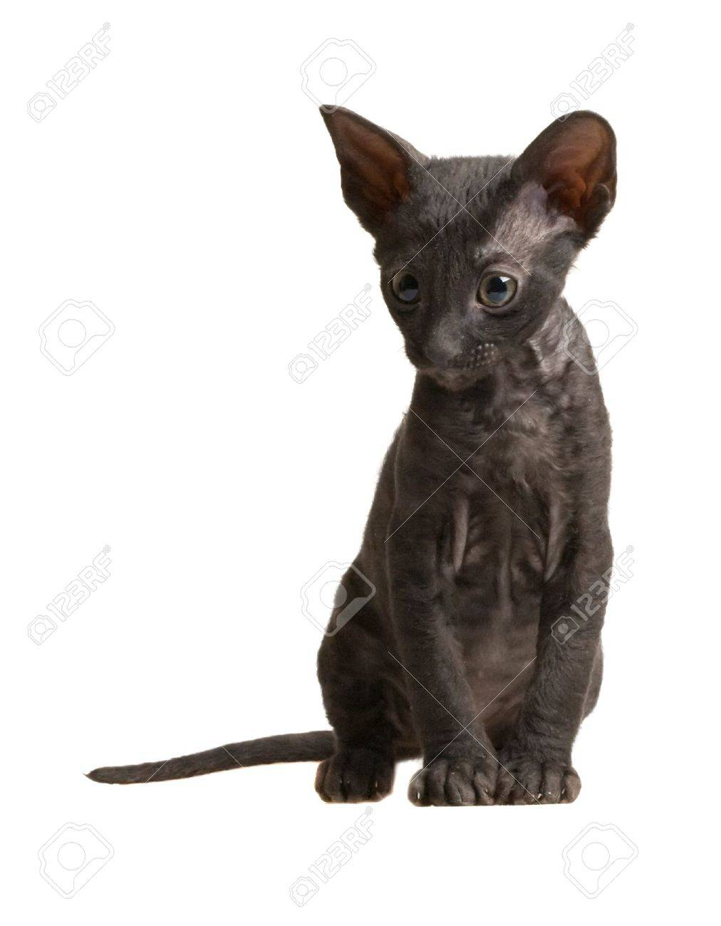 Funny Cornish Rex Kitten Isolated White Stock Picture