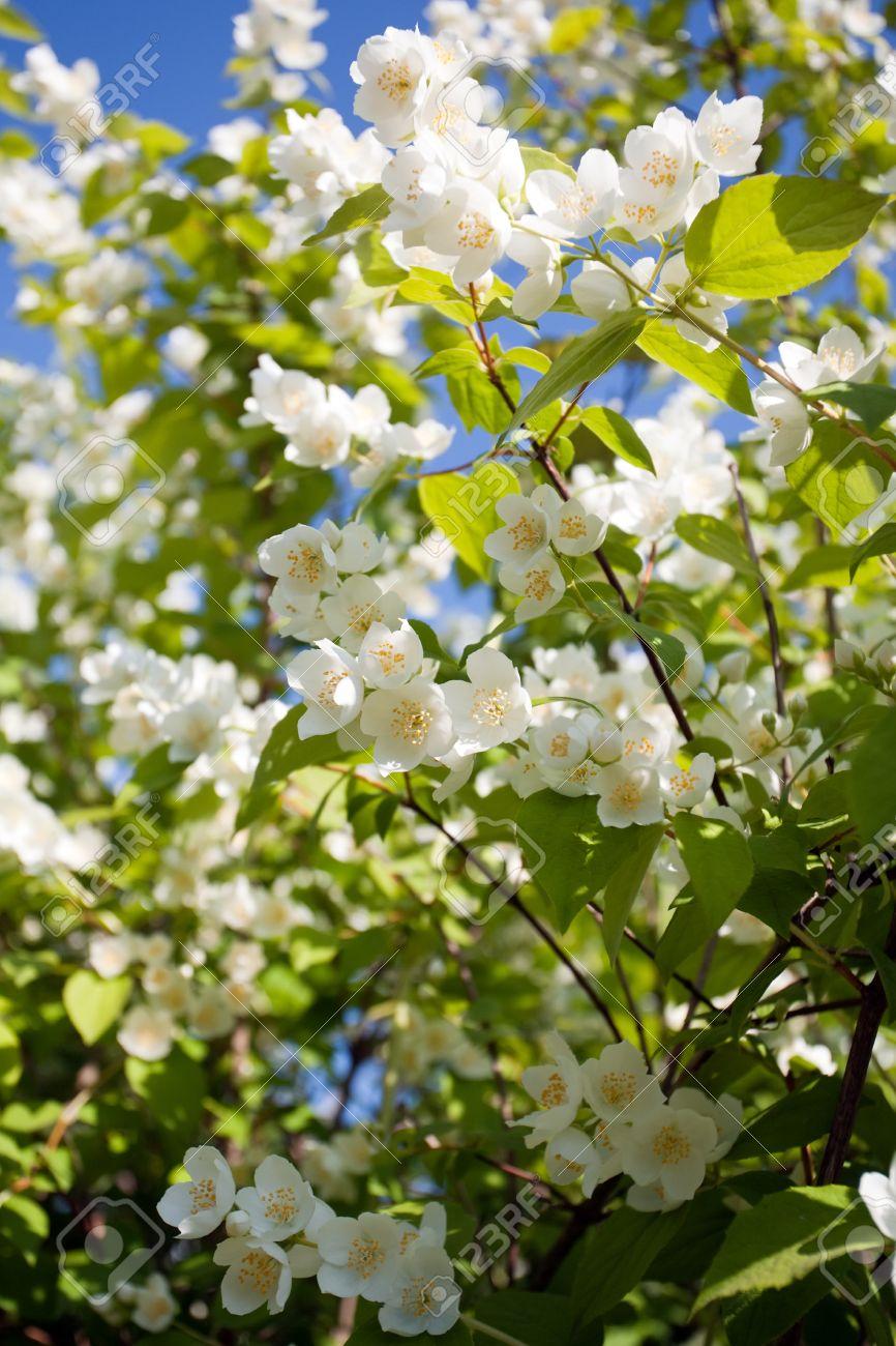 Jasmin blossom tree closeup with a lot of white flowers on green jasmin blossom tree closeup with a lot of white flowers on green leaves and blue sky mightylinksfo