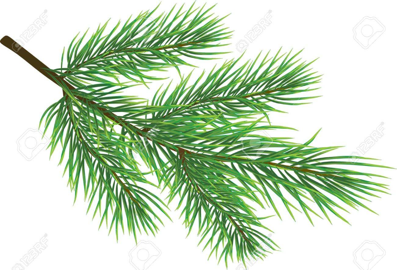 Fir twig isolated on white ( vector) Stock Vector - 3507416