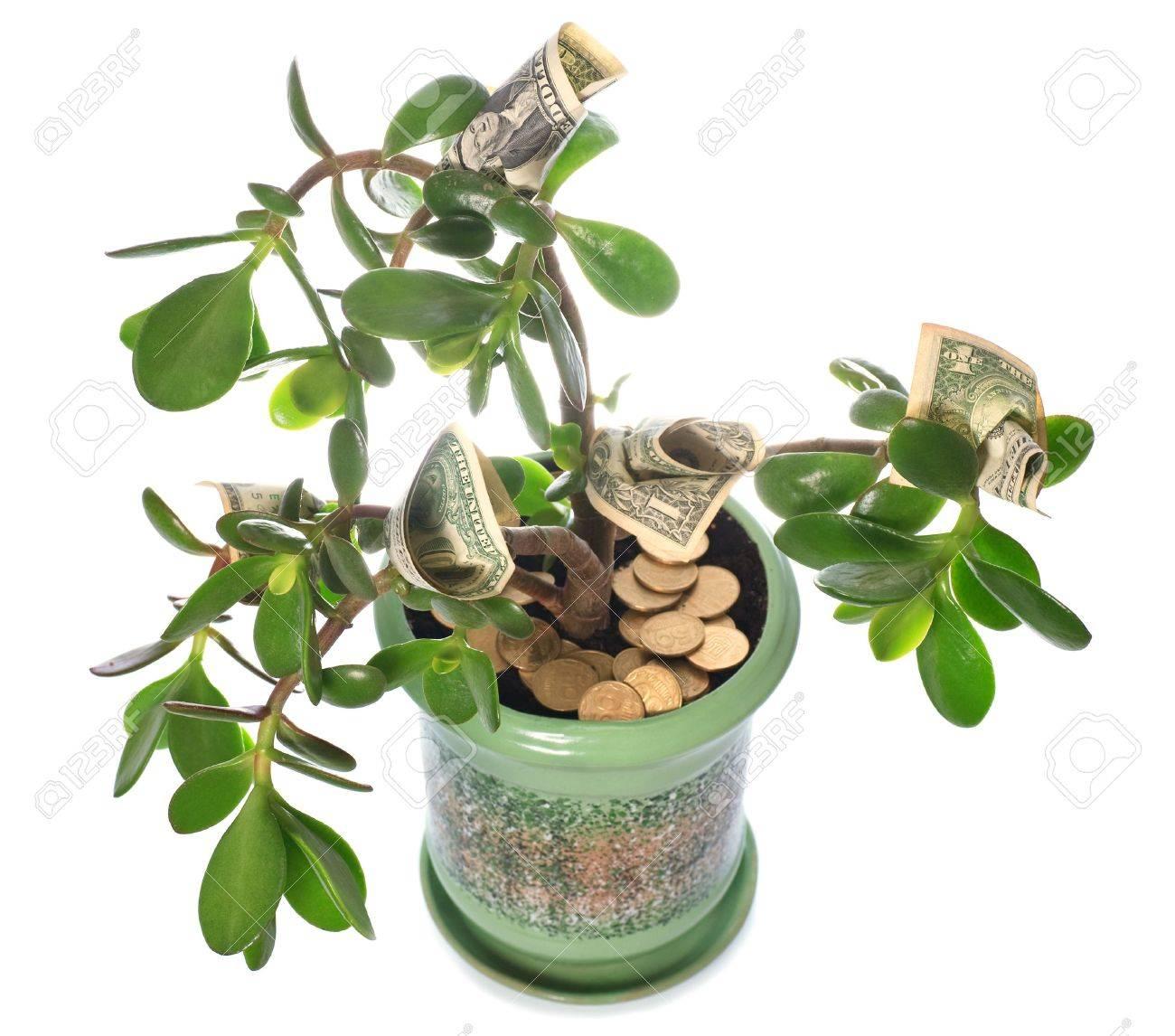 Albero Della Fortuna Pianta in vaso pianta casa crassula con il dollaro in forma di fiore isolata on  white. questa pianta è conosciuta per essere un grande ricchezza fortuna  feng