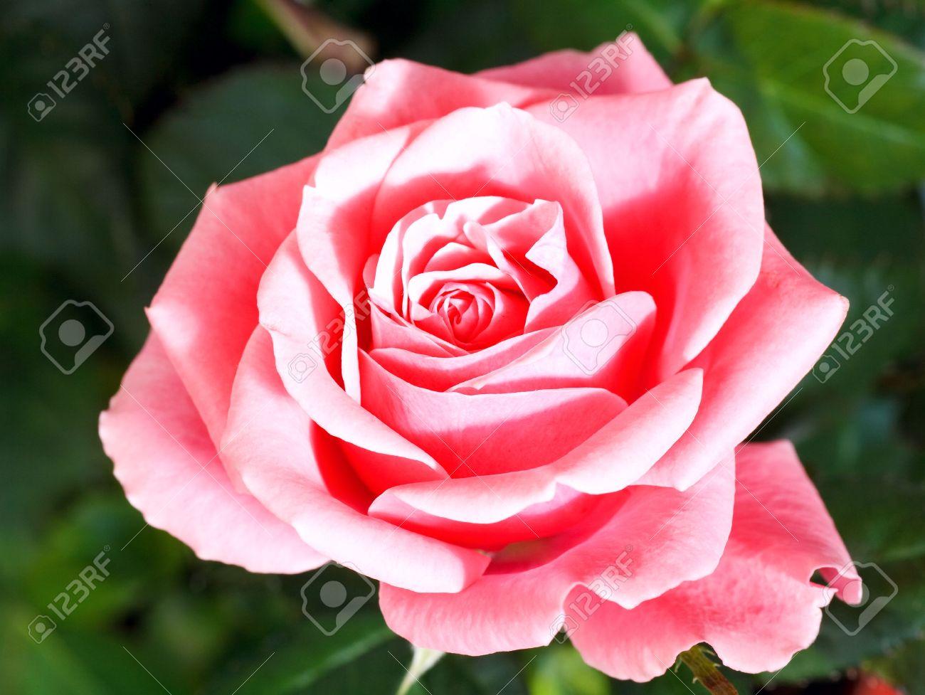magnifique fleur rose sur lit de fleur été banque d'images et