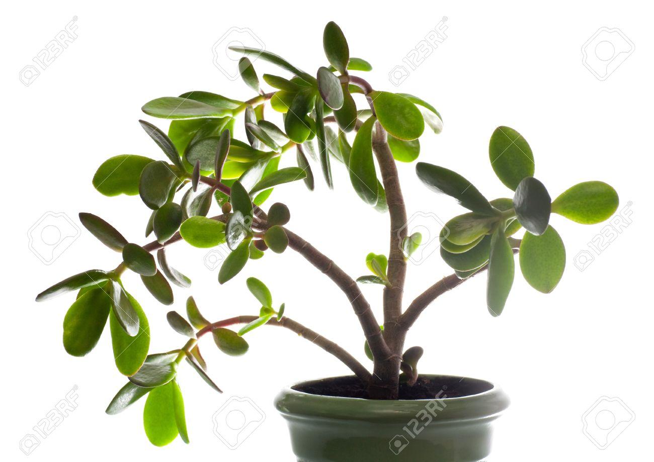 Albero Della Fortuna Pianta vaso vegetali crassula (giada) isolato sul bianco. questa pianta è  conosciuta per essere un simbolo di ricchezza grande fortuna feng-shui (o  albero