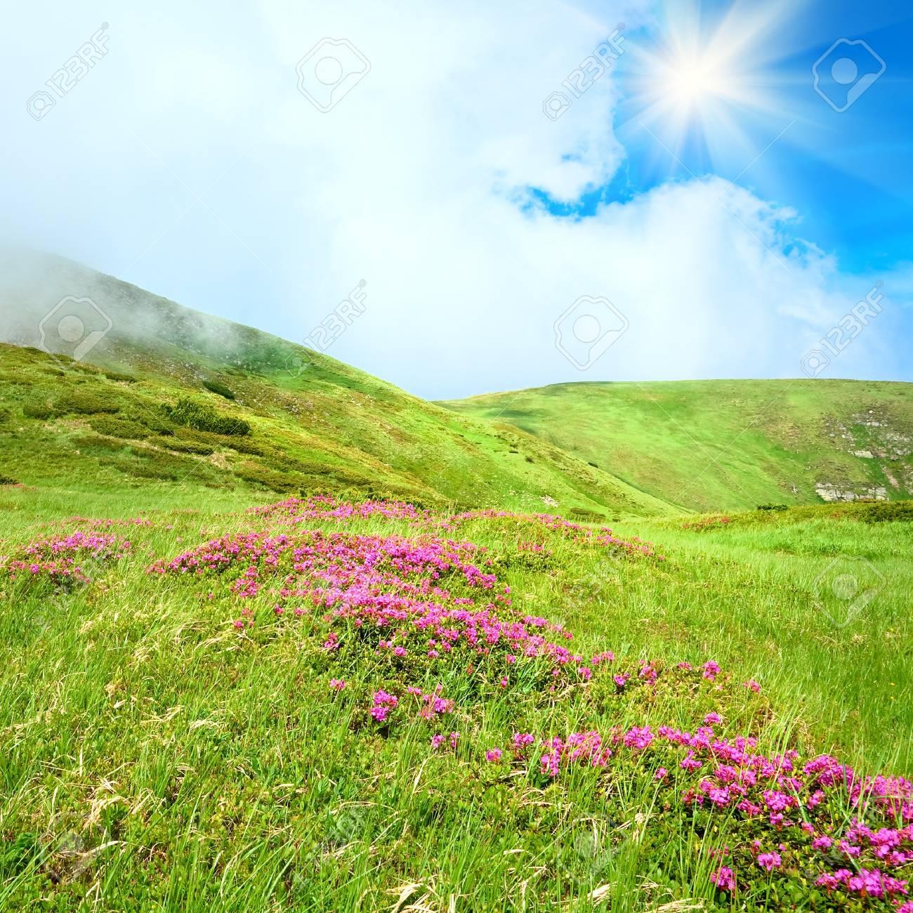 Flores de color rosa en la ladera de rododendros de verano (Ucrania, Montes Cárpatos) y el sol en el cielo Foto de archivo - 10103847