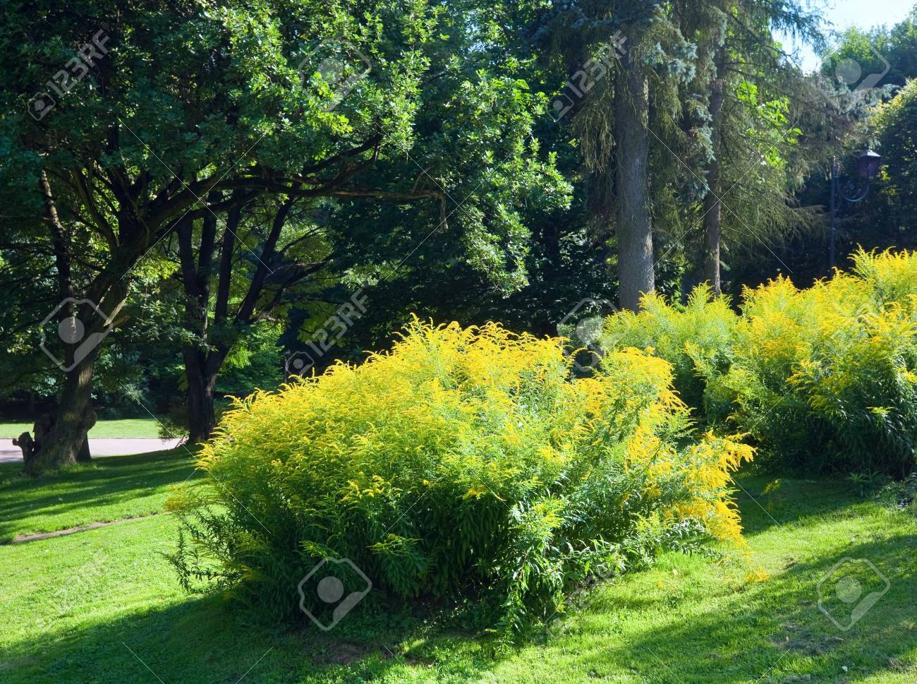 Blossoming Bush With Yellow Flowers In Summer City Park Stock Photo