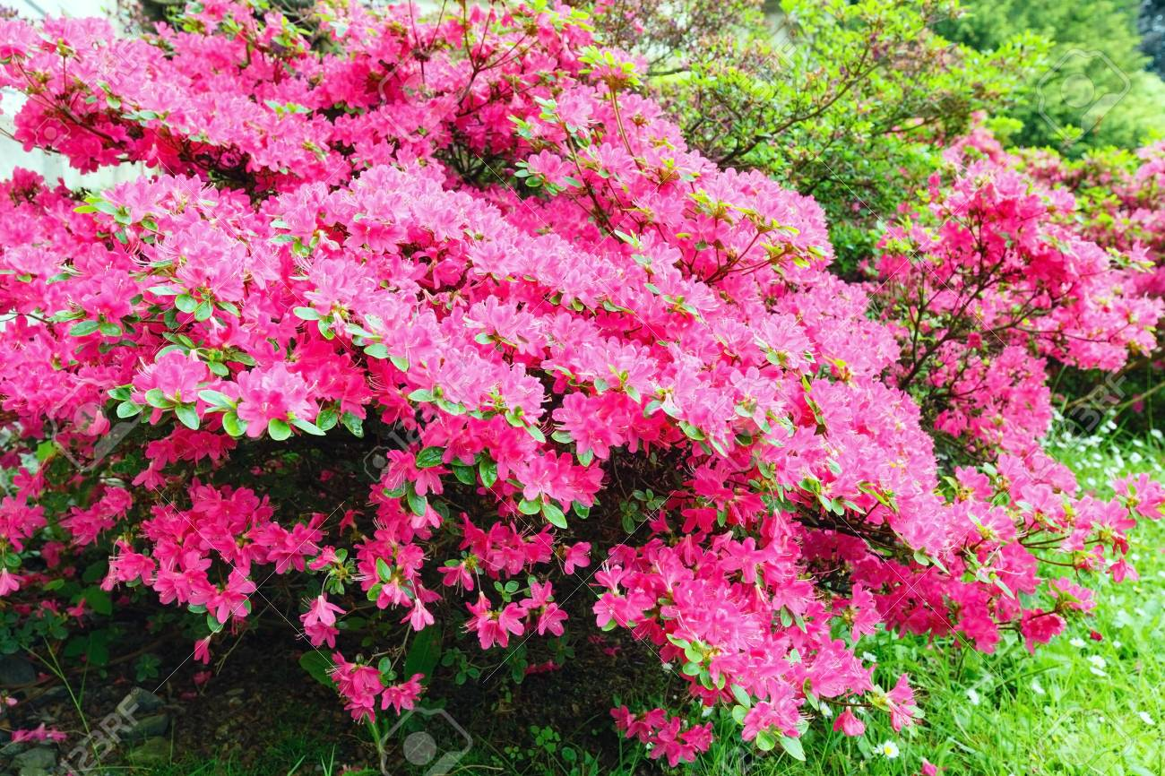 Blossoming rhododendron bush with pink flowers closeup stock photo blossoming rhododendron bush with pink flowers closeup stock photo 16360760 mightylinksfo