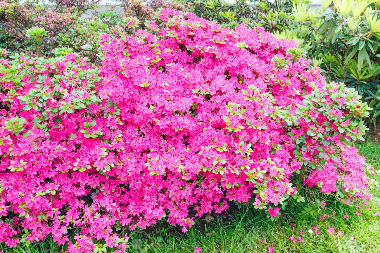 Blossoming Rhododendron Bush With Pink Flowers Closeup Stock Photo