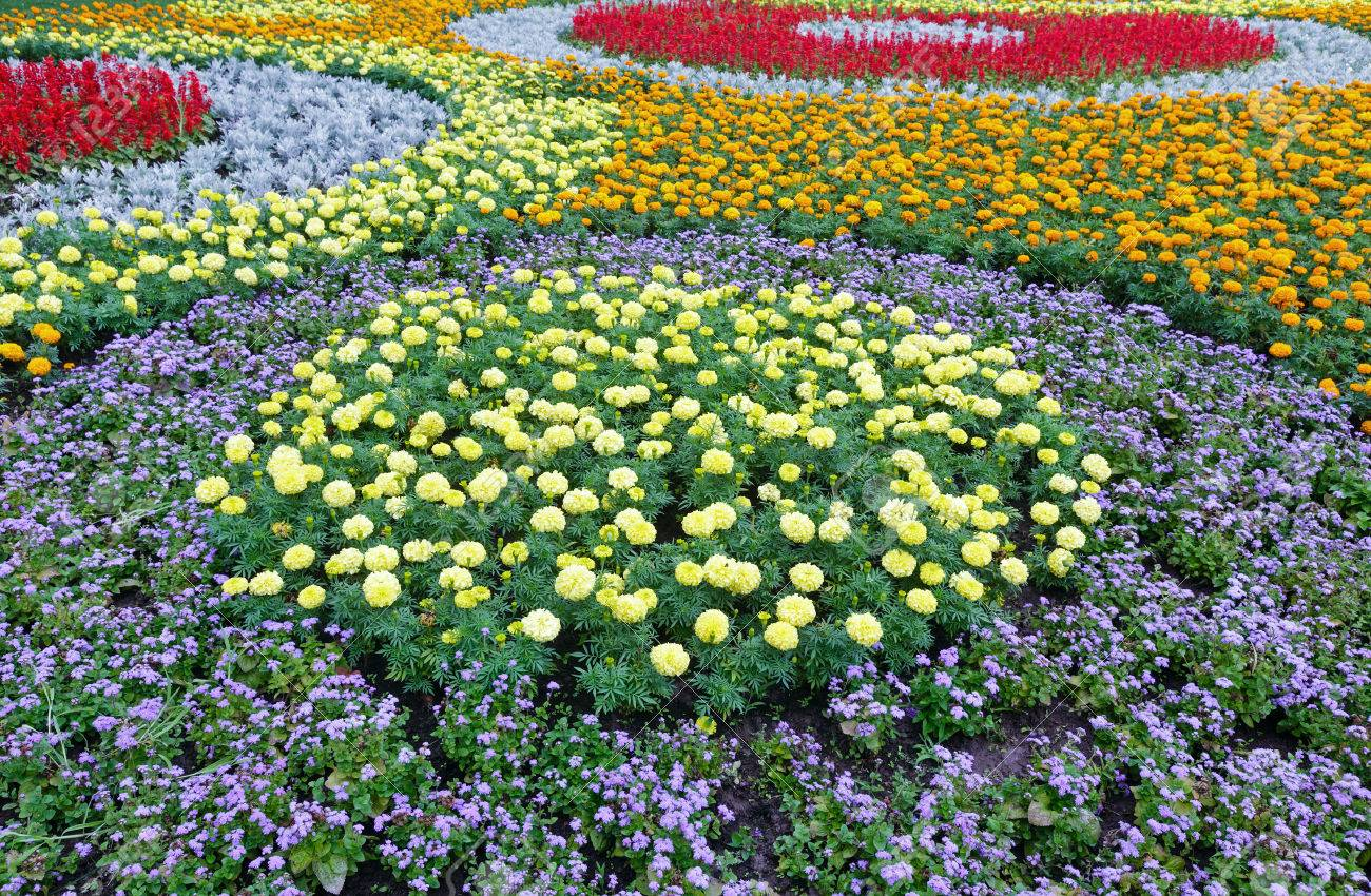 Orange And Yellow Flowers Of Marigold Plant Red Scarlet Salvia