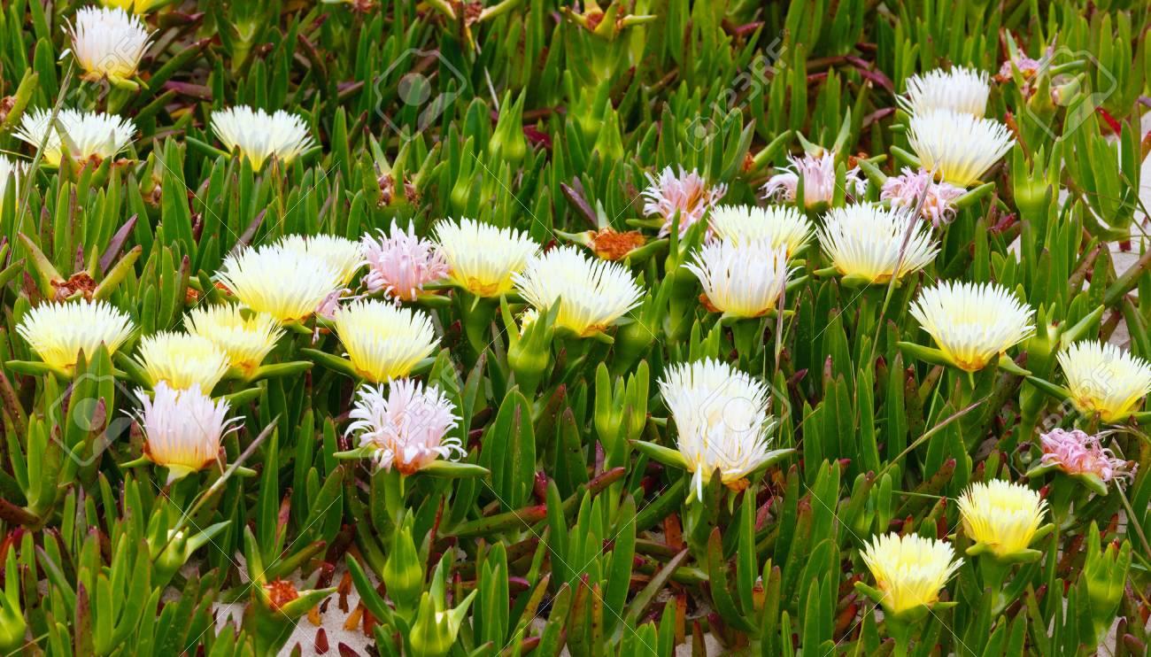 Carpobrotus known as pigface ice plant with white large daisy carpobrotus known as pigface ice plant with white large daisy like flowers izmirmasajfo