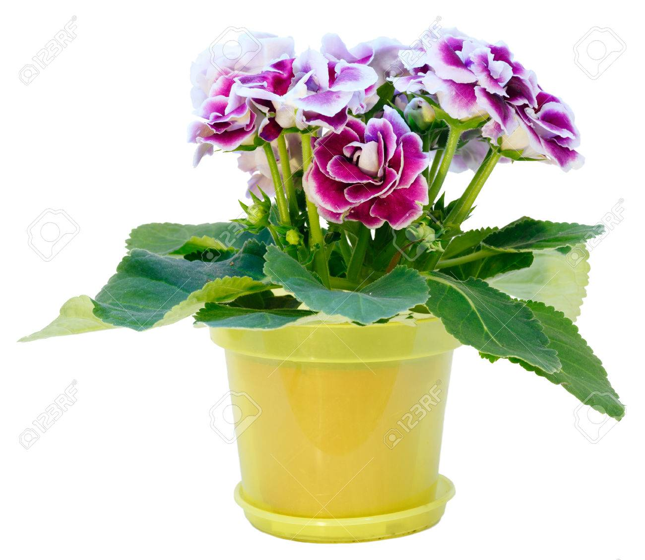 Gloxinia Plant With Violet White Flowers In Flowerpot Isolated