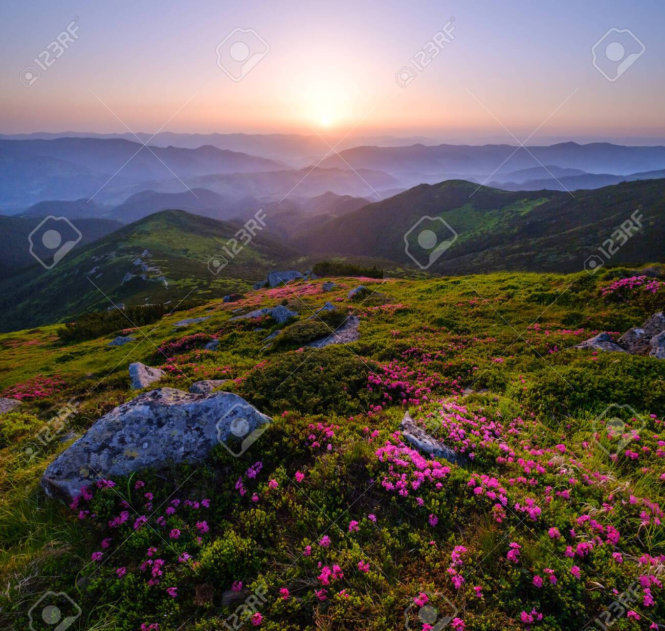 Pink rose rhododendron flowers on early morning summer mountain slope, Carpathian, Chornohora, Ukraine. - 129714846