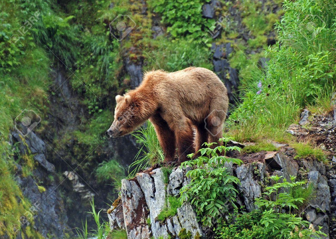 この撮影グリズリー熊のコディア...