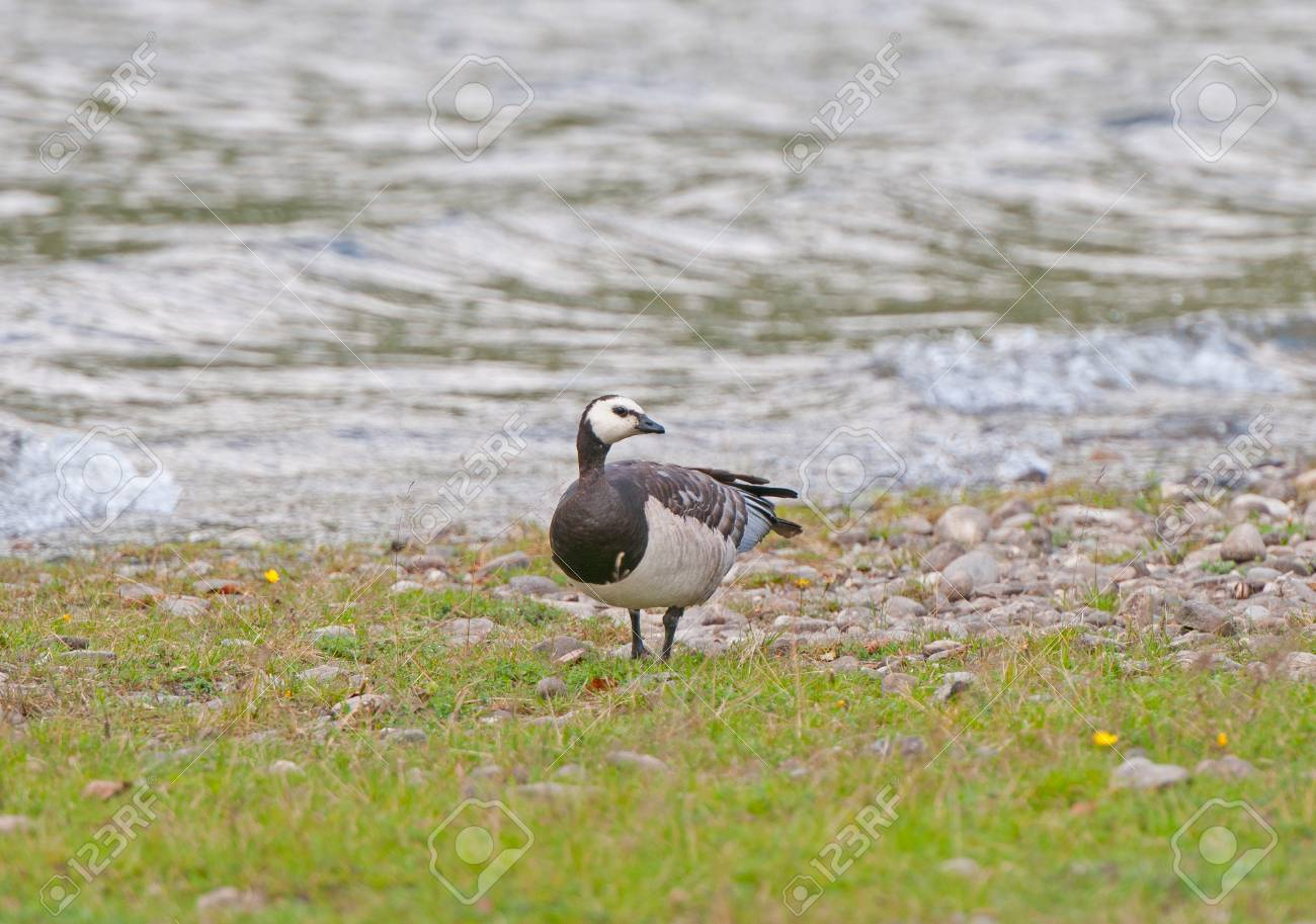 Barnacle Goose on Voss Lake in Norway Stock Photo - 16261161