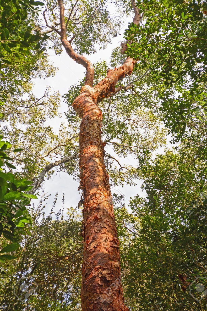 [Image: 29293256-Gumbo-Limbo-Tree-in-a-hummock-i...-Photo.jpg]