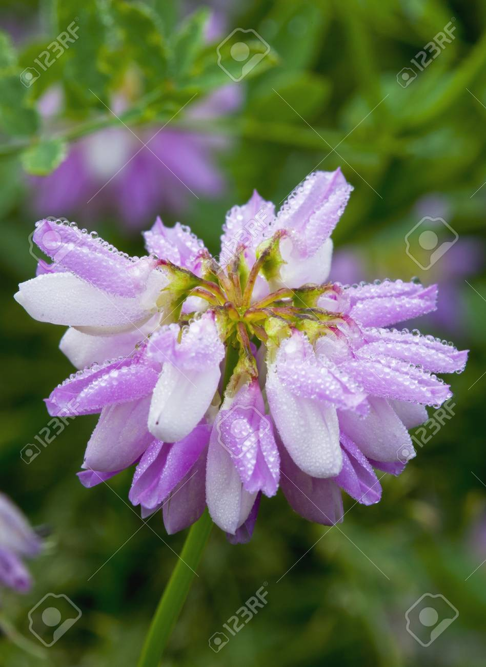 Morning dew on crown vetch cluster stock photo picture and royalty morning dew on crown vetch cluster stock photo 11112928 izmirmasajfo