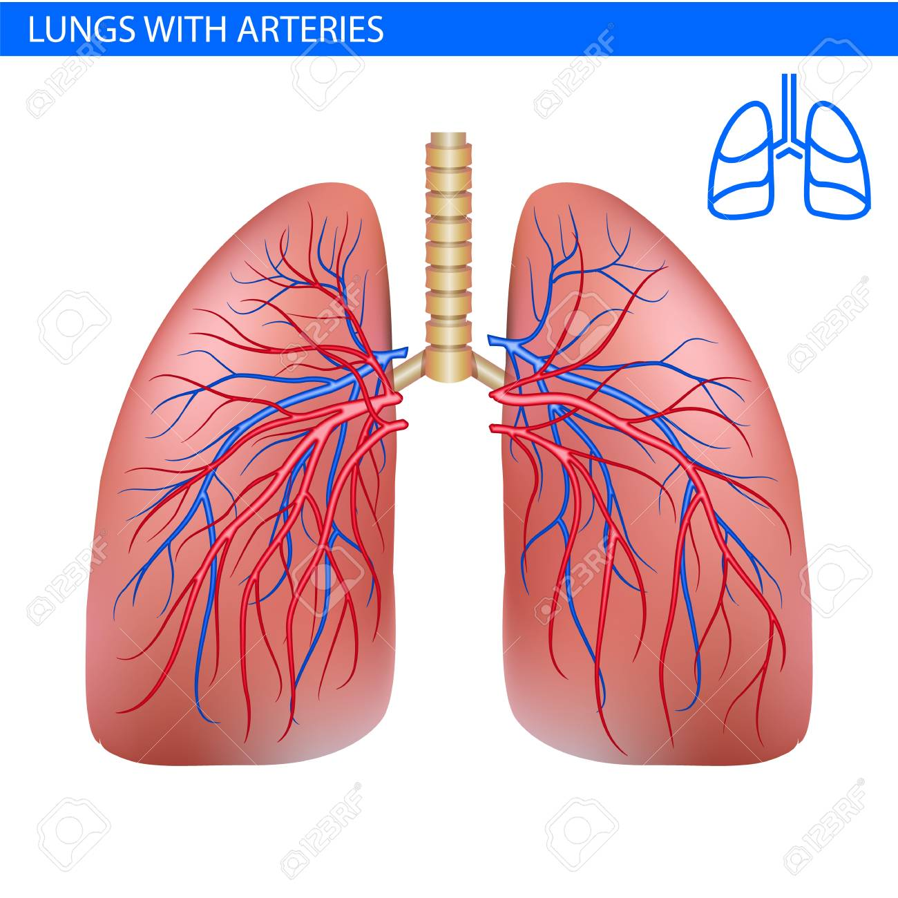 Human Lungs Anatomy With Artery Circulatory System Realistic