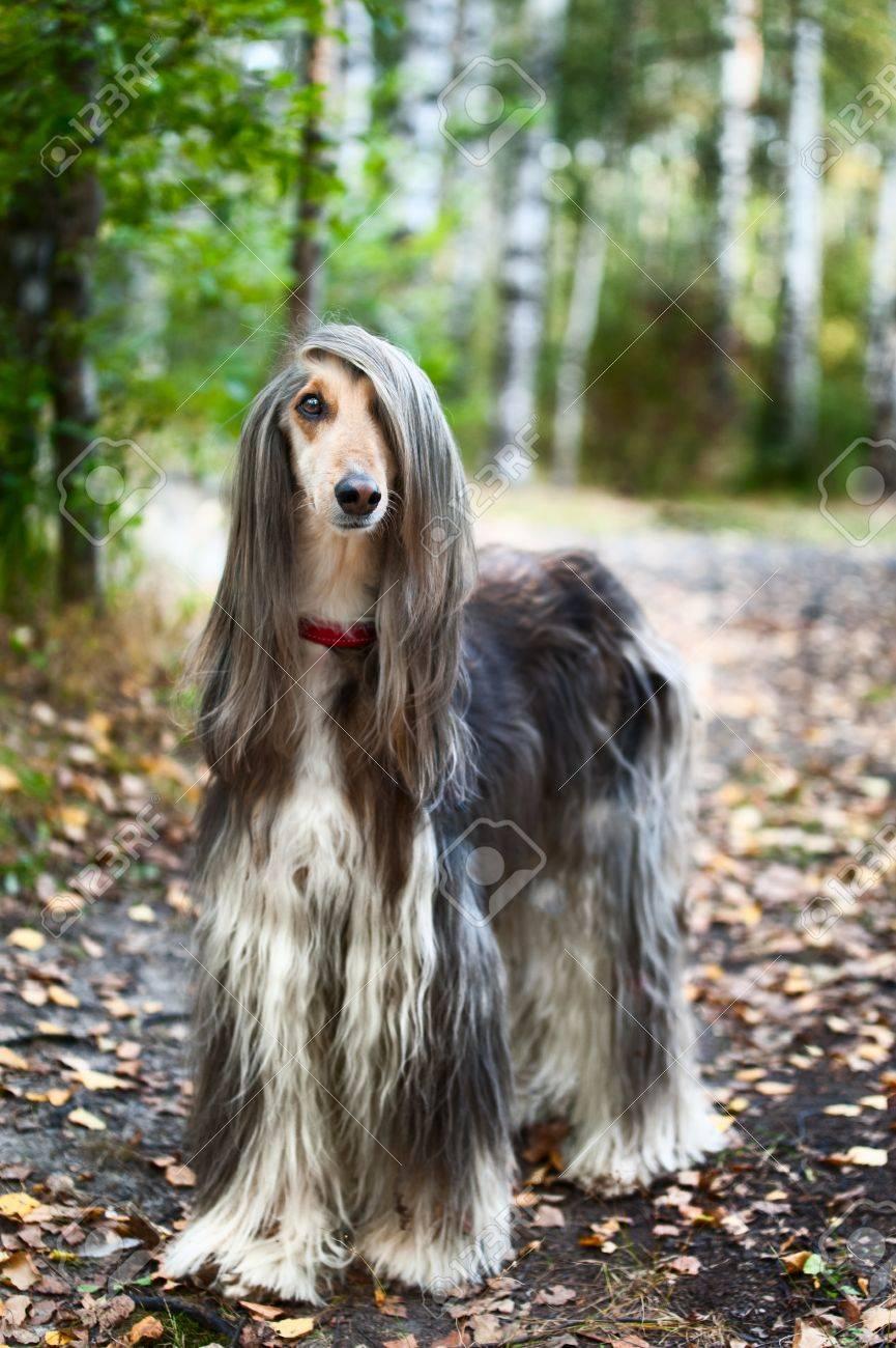 アフガニスタンのグレイハウンド犬の肖像画 OA の肖像画。犬は犬 ...