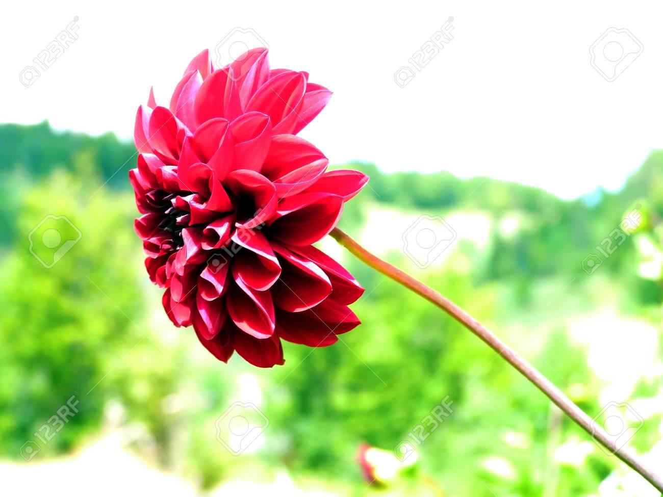 Flower with long stem - 86168330