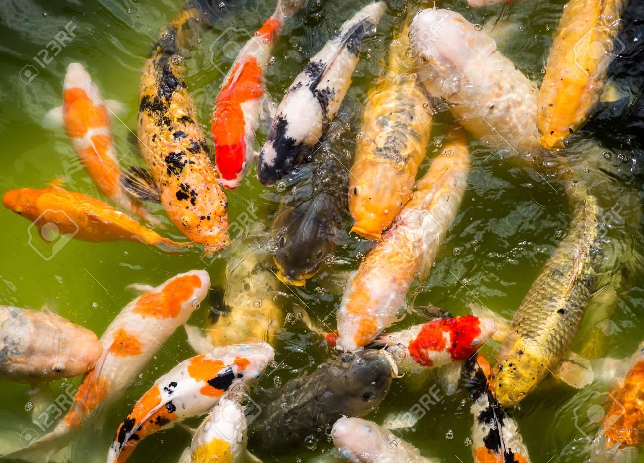 Koi, more specifically Nishikigoi, are ornamental carp, colored